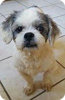 Shih Tzu Dog for adoption in Renton, Washington - Gracie