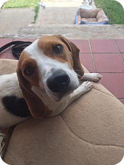 Beagle/Boxer Mix Dog for adoption in Harrisonburg, Virginia - Gracie  (ETAA)