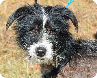 Chinese Crested/Terrier (Unknown Type, Small) Mix Dog for adoption in SUSSEX, New Jersey - Bo (21 lb) Perfect Family Pet!