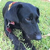 Adopt A Pet :: Bella ~ DOB 2/02/16! - Brattleboro, VT