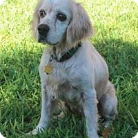 Cocker Spaniel Dog for adoption in Austin, Texas - Niko