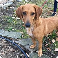 Basset Hound Mix Dog for adoption in Sagaponack, New York - Summer