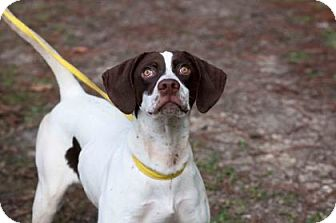 Pointer Mix Dog for adoption in Middleburg, Florida - Cole