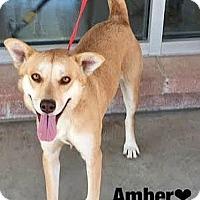 Adopt A Pet :: 415787 Amber - San Antonio, TX