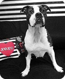 Boxer/Plott Hound Mix Dog for adoption in Conroe, Texas - Sophia