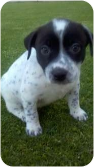 Australian Cattle Dog/Labrador Retriever Mix Puppy for adoption in Bakersfield, California - Dr. Phil