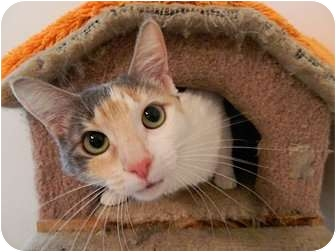 Calico Cat for adoption in The Colony, Texas - Brenda