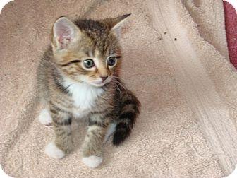 Domestic Shorthair Kitten for adoption in Spotsylvania, Virginia - Bailey