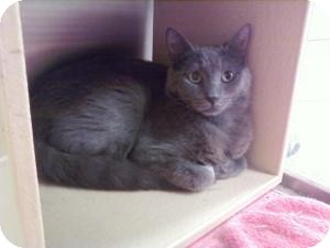 Russian Blue Cat for adoption in Fort Lauderdale, Florida - Angel