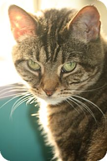 Domestic Shorthair Cat for adoption in Dover, Ohio - Echo