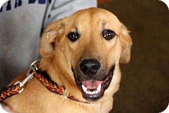 Labrador Retriever/Shepherd (Unknown Type) Mix Dog for adoption in Dallas, Georgia - Rupert