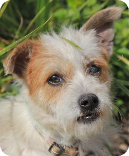 Fox Terrier (Wirehaired)/Cairn Terrier Mix Dog for adoption in Norwalk, Connecticut - Mackenzie - adoption pending