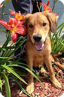 Golden Retriever Mix Puppy for adoption in Plainfield, Connecticut - Opie