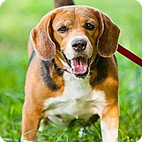 Adopt A Pet :: Elsa the Beagle - Miami, FL