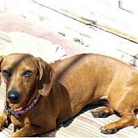 Adopt A Pet :: Daisy Lou - San Jose, CA