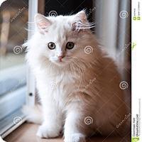 Adopt A Pet :: Olaf - Brockton, MA