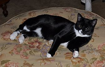 Domestic Shorthair Cat for adoption in St. Charles, Illinois - Lily