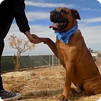 Adopt A Pet :: Big Duke - Apple Valley, CA