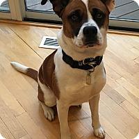 Adopt A Pet :: Kricket - Manhasset, NY