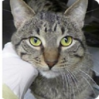 Adopt A Pet :: Frank-CUTE MEOW, SUPER SWEET - Naperville, IL