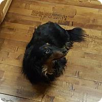 Adopt A Pet :: Ginger - Aurora, CO