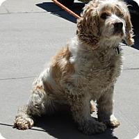 Adopt A Pet :: Cornelius - Brooklyn, NY