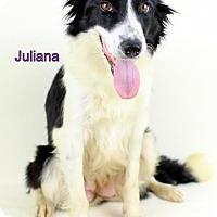 Adopt A Pet :: Juliana - Needs Foster - Bloomington, MN