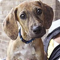 Adopt A Pet :: Pikelet - PORTLAND, ME