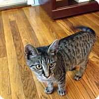 Adopt A Pet :: BOWS KITTEN - valhalla, NY