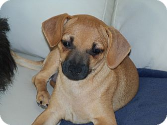 Dachshund/Chihuahua Mix Puppy for adoption in Apache Junction, Arizona - Bonnie,Bella