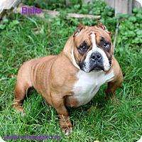 Adopt A Pet :: Belle - Bloomington, MN