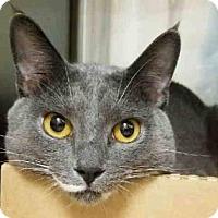 Domestic Shorthair Cat for adoption in New York, New York - Monty