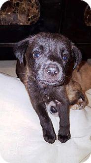 Labrador Retriever Mix Puppy for adoption in Houston, Texas - Jiksy