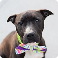 Adopt A Pet :: Mason - Ridgefield, CT