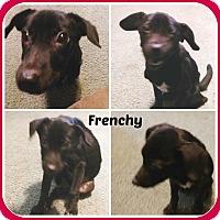 Adopt A Pet :: FRENCHY - Malvern, AR