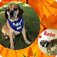 Adopt A Pet :: Rachet - Buffalo, IN