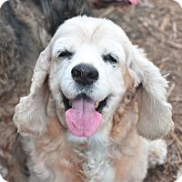 Cocker Spaniel Dog for adoption in Austin, Texas - McCoy