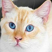 Domestic Mediumhair Cat for adoption in Fort Walton Beach, Florida - CHOWDER 2