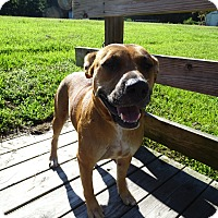 Black Mouth Cur Mix Dog for adoption in Brooksville, Florida - CALLIE
