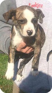 Boxer Mix Puppy for adoption in Modesto, California - Mark