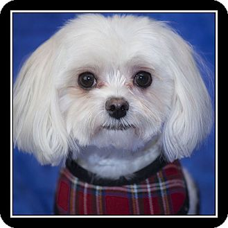maltese rescue san diego rascal adopted dog san diego ca maltese mix 3502