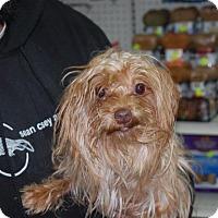 Adopt A Pet :: Buster Brown - Brooklyn, NY