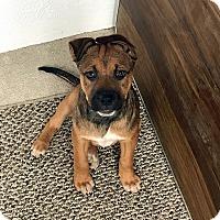 Adopt A Pet :: SUKI - Albuquerque, NM