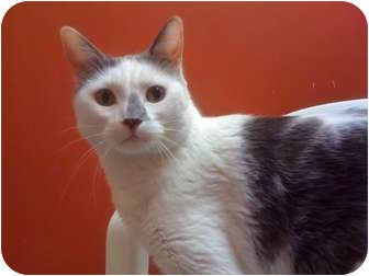 Domestic Shorthair Cat for adoption in Topeka, Kansas - Harry
