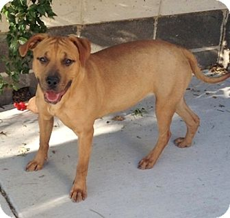 Allegra Adopted Dog 29161 Dublin Ca Pit Bull Terrier Rhodesian Ridgeback Mix