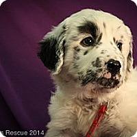 Adopt A Pet :: Lolla-Lee_Lou - Broomfield, CO