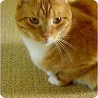 Adopt A Pet :: Mango - Jenkintown, PA