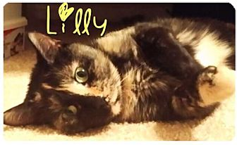 Domestic Mediumhair Cat for adoption in York County, Pennsylvania - 15-026 Lilly