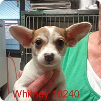 Adopt A Pet :: Whitney - baltimore, MD