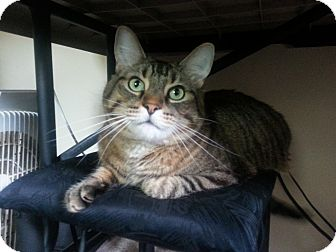 Domestic Shorthair Cat for adoption in Cleveland, Ohio - Eorr
